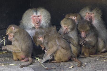 Kijk me aan - Deze foto deed me opeens erg aan het huidige politieke spel van afgelopen week denken. Beetje raar misschien. Hoe dan ook ik vind het wel een leuke f - foto door vanbeekbd op 10-04-2021 - deze foto bevat: aap, baviaan, primaat, organisme, resusaap, terrestrische dieren, snuit, makaak, dieren in het wild, vlees