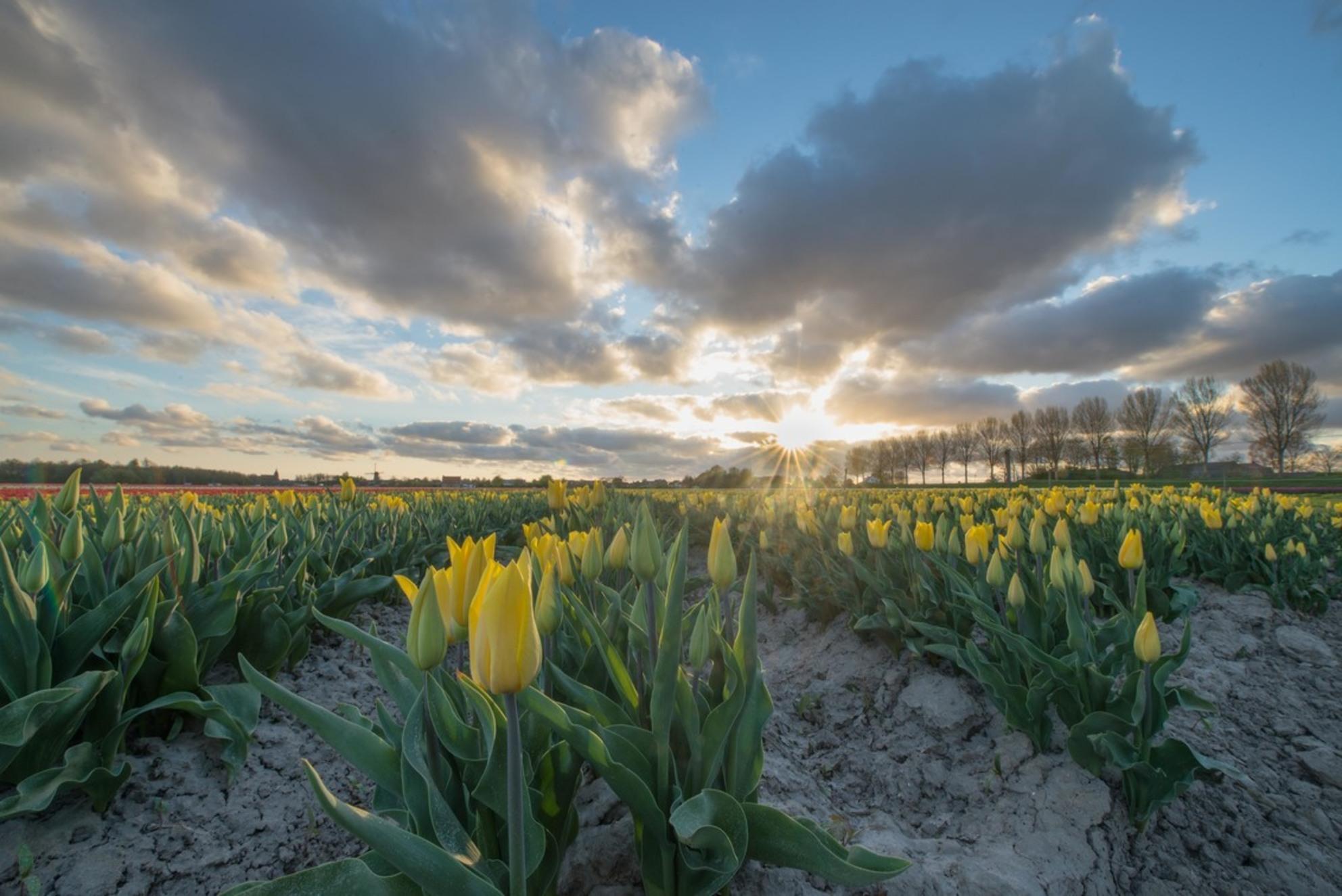 Spring sunset - Lente in de polder. Prachtige zonsondergang. Linksboven de foto nog een molen in de verte. - foto door Brouwer85_zoom op 11-04-2017 - deze foto bevat: lucht, wolken, zon, dijk, tulpen, lente, natuur, licht, avond, zonsondergang, landschap, tegenlicht, bomen, molen, nederland, polder, tulpenveld, goeree overflakkee - Deze foto mag gebruikt worden in een Zoom.nl publicatie