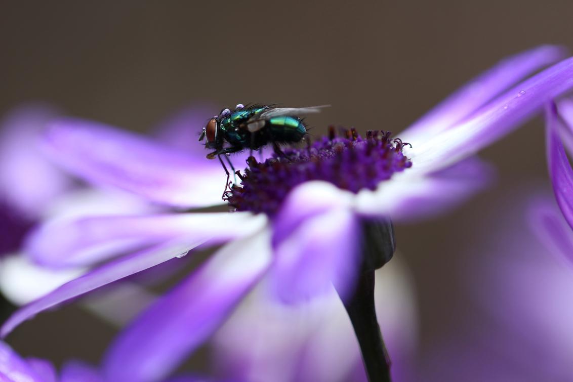 Toeval - Eigenlijk was ik buiten voor een opdracht voor de cursus die ik doe. De bedoeling was dat ik een bloem zou fotograferen, maar deze kon ik niet laten  - foto door renatebobo op 29-07-2015 - deze foto bevat: paars, macro, bloem, vlieg, druppel