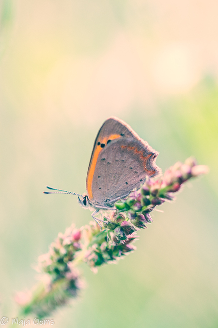 On fire.... - Vanmorgen op pad geweest voor vlindertjes... Hooibeestje en kleine vuurvlinder kwamen voor mijn lens. Hier foto van de kleine vuurvlinder, wat zijn - foto door mb83 op 22-08-2018 - deze foto bevat: macro, natuur, vlinder, licht, insect, vuurvlinder, dof, bokeh