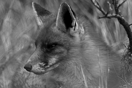 vos in zwart wit