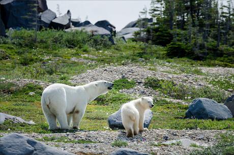 IJsberen in de zomer