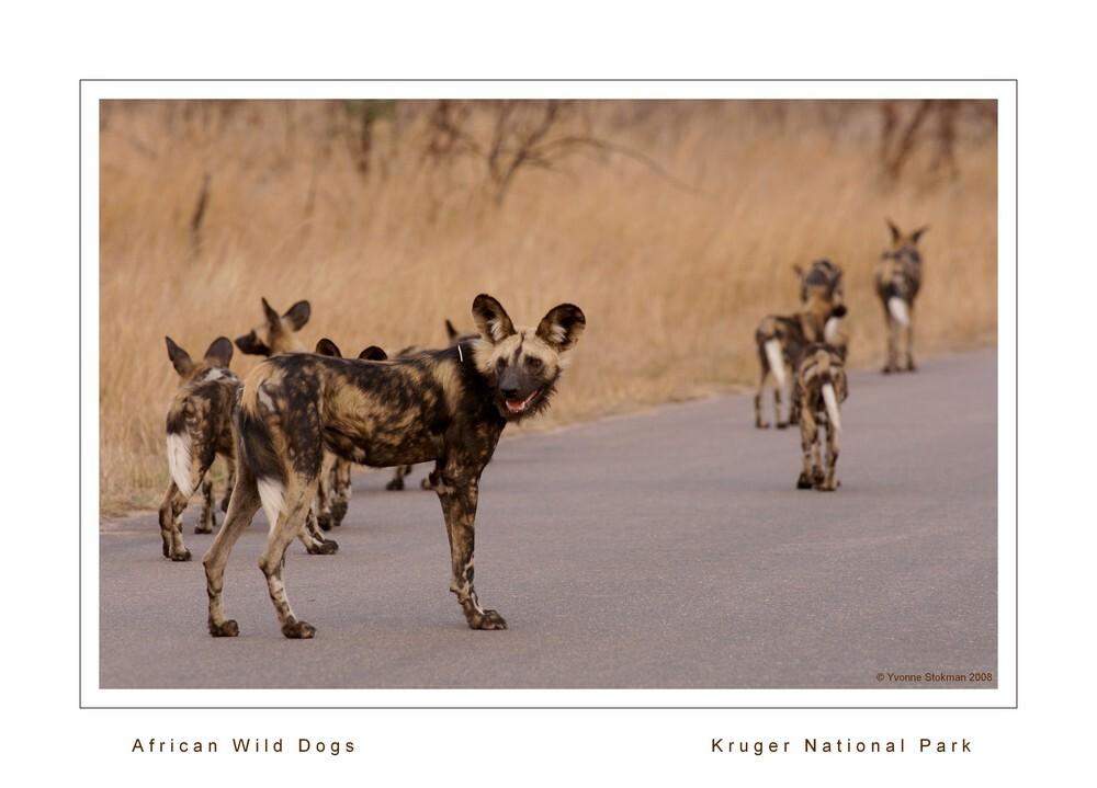 Hyena honden - De hyena honden worden met uitsterven bedreigd. In het Kruger National Park leven er nog ongeveer 350. Het is dan ook altijd weer bijzonder om deze d - foto door Giraffe op 21-02-2009 - deze foto bevat: safari, wild, dog, kruger, travelphotography, zuid-afrika, hyenahond