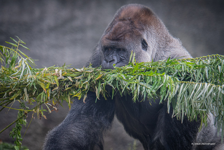 Wereld Gorilla Dag !!