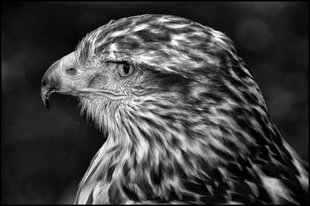 Roofvogel2 - - - foto door etiennec op 29-11-2015 - deze foto bevat: dieren, vogel, roofvogel