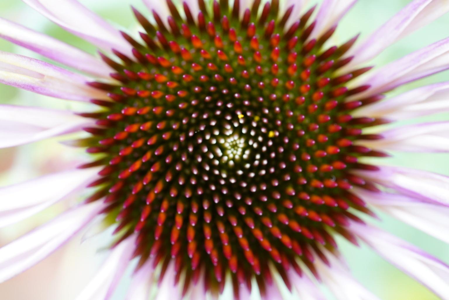 Echinacea  - Macro foto van het hart van deze bloem - foto door Frenk2021 op 16-04-2021 - locatie: Veldhoven, Nederland - deze foto bevat: echinacea, bloemen, macro, bloem, fabriek, bloemblaadje, terrestrische plant, kruidachtige plant, bloeiende plant, symmetrie, eenjarige plant, detailopname, daisy familie