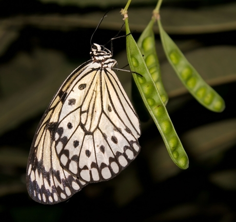 Rijstvlinder