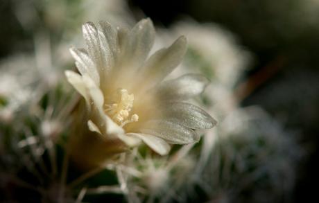 Bloem, Cactus