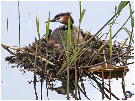 Fuut op nest (behoorlijk gecropt i.v.m. privacy) ...