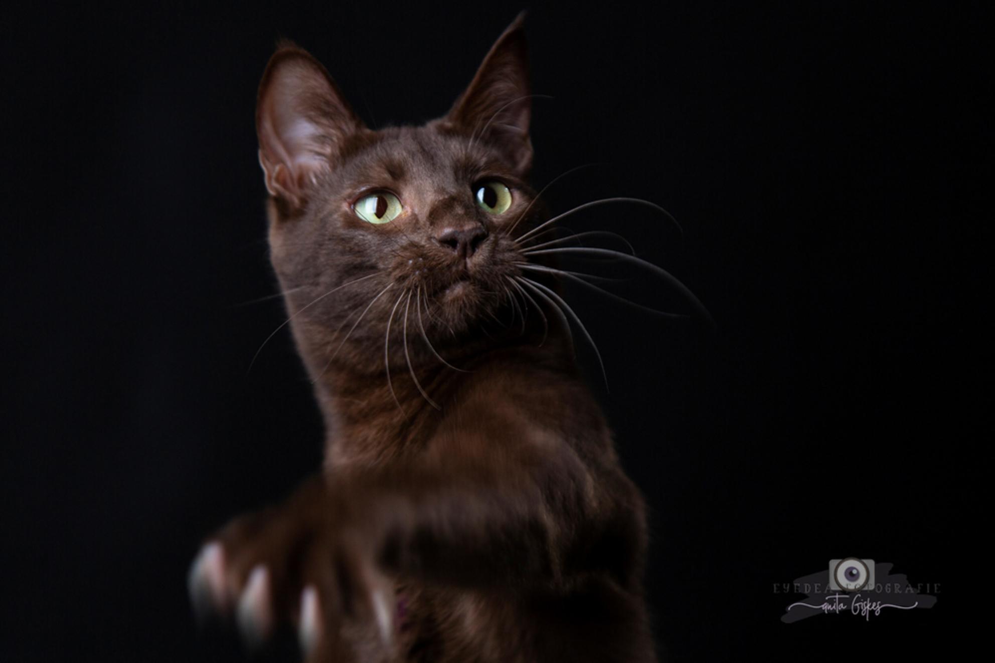 CAT(CH) ME! - Deze prachtige variant Savannah is ook bij mij op bezoek geweest voor het nieuwe Savannah boek - foto door Anita Eye Dea op 10-01-2021 - deze foto bevat: kitten, poes, dieren, huisdier, kat, beweging, jong, studio, huisdierfotografie, savannah, eyedea, kattenfotografie, huisdierfotograaf, savannah kat