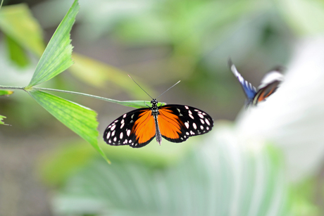 Vlinder(s)