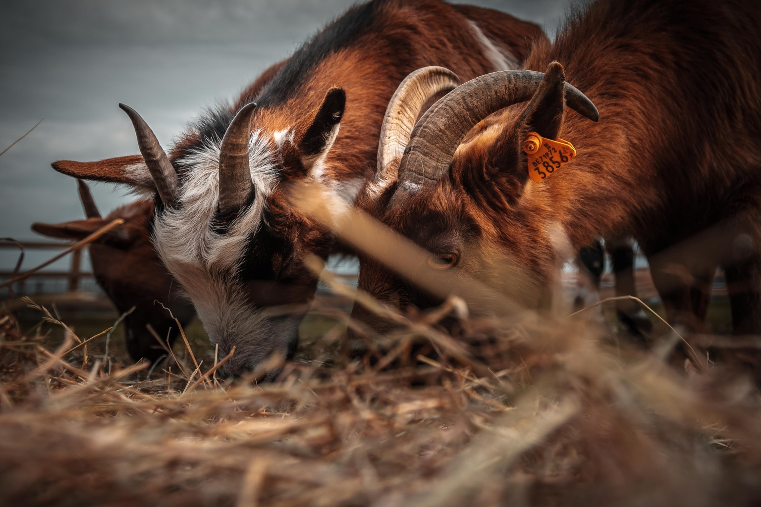 Eten - Een wat drukke foto met veel diepte. Zie ze genieten van het verse hooi! - foto door LaurensVermeyen op 12-04-2021 - deze foto bevat: geiten, hooi, grazen, kaak, lever, hoorn, fawn, terrestrische dieren, hout, snuit, antilope, grazen, staart