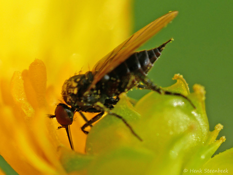 Bochel dansvlieg slurpt nectar