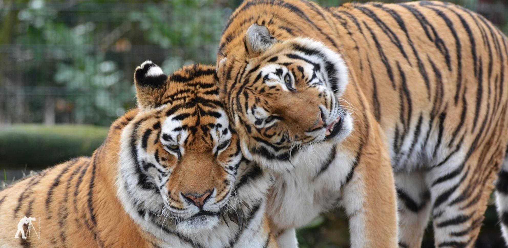 Love you - - - foto door blaica op 11-03-2018 - deze foto bevat: tijger, wildlife