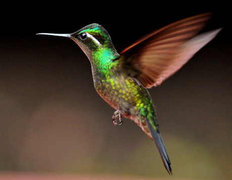 Magnificent Humminbird