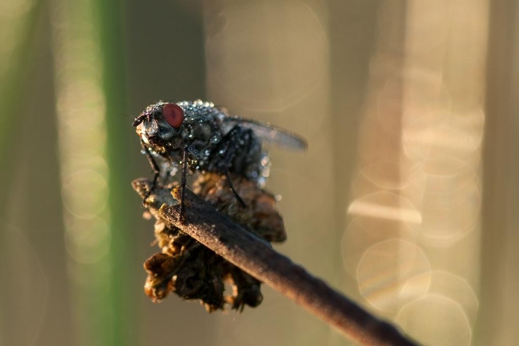 Even opdrogen - Vlieg met dauw die aan het opdrogen is. - foto door jvos1972 op 02-06-2011 - deze foto bevat: vlieg, dauw