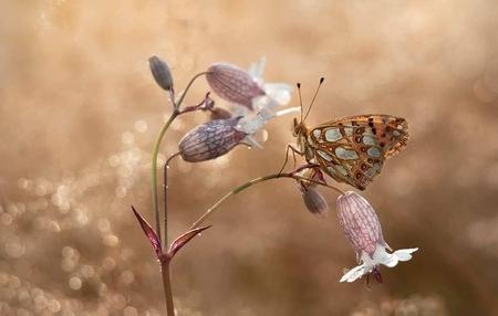 Parelmoervlinder  - Deze mooie vlinder ontmoet in het gebied van winning looderts . - foto door huyssen op 16-04-2021 - deze foto bevat: vlinder, parelmoer, nikon, macro, natuur, bestuiver, fabriek, vlinder, insect, geleedpotigen, bloem, takje, natuurlijk landschap, motten en vlinders, vleugel