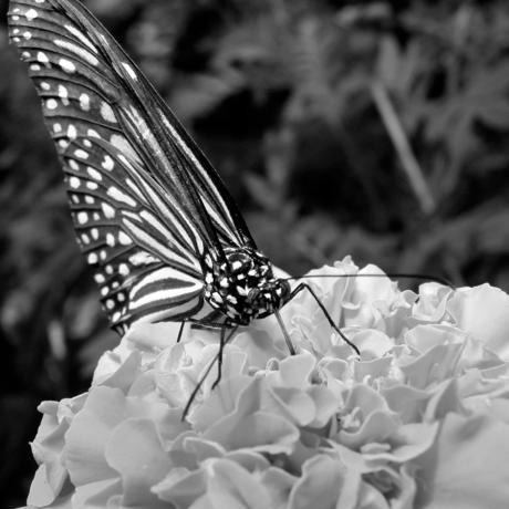 Vlinder Maleisie