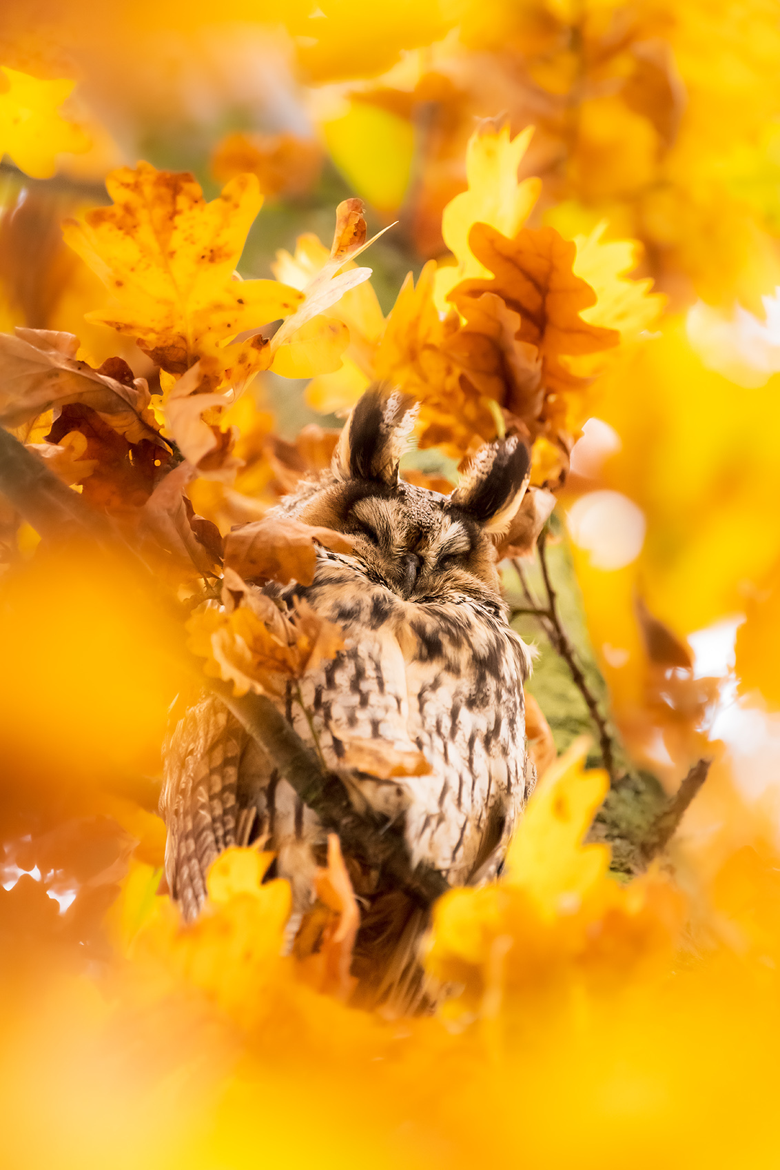 Uiltje knappen - Deze Ransuil was héérlijk een uiltje aan het knappen. Gewoon. Middenin een woonwijk. Alsof het de normaalste zaak van de wereld is. Is het waarschijn - foto door chrizzx op 17-11-2019 - deze foto bevat: bladeren, uil, geel, herfst, eik, dieren, vogel, roofvogel, slapen, wildlife, uilen, ransuil, dof, doezelen, soezen, seizoen, pentax, laanboom