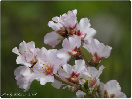 Spring is in the air.....amandelbloesem