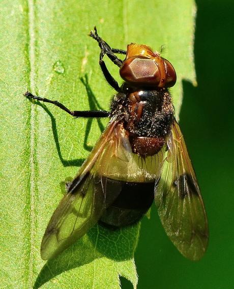 Withaarmelkzweefvlieg