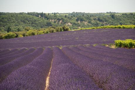 Lavendel in Z-Frankrijk
