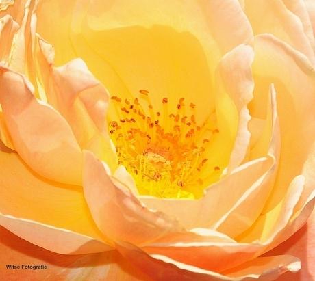 het hart van een roos!