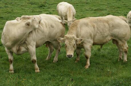 2009-09 Koeien in de wei nabij Malmedy versie 2.jpg