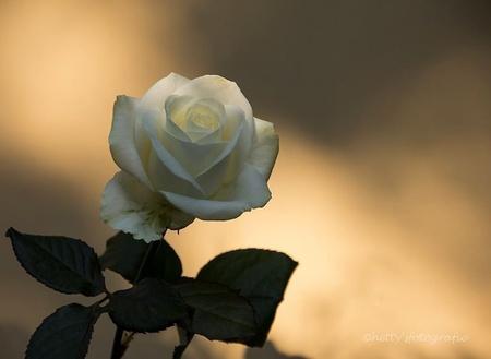 Ik zie je.... - Ik hoor je in muziek, in woorden die verwoorden. Ik zie je in de dingen, in kleuren die verkleuren. Ik herken je in de beelden, in tekens die te - foto door hettysfotografie op 20-09-2014 - deze foto bevat: macro, bloem, roos, lichtval, blank