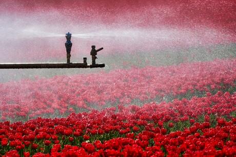 Beregenen van tulpen