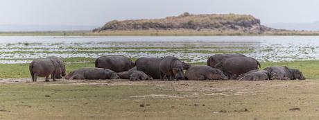 nijlpaarden-Pano