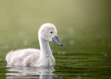 Little swan - - - foto door Hendrik1986 op 05-07-2020 - deze foto bevat: water, zwaan, watervogel, wildlife