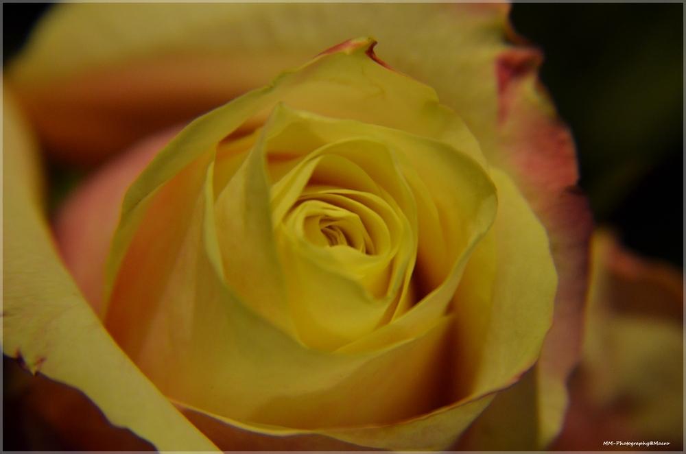 Yellow rose...... - Een van mijn eerste macro foto's, deze roos was een gewillig slachtoffer ;-) - foto door mvdmars op 04-05-2014 - deze foto bevat: macro, bloem, roos, boeket