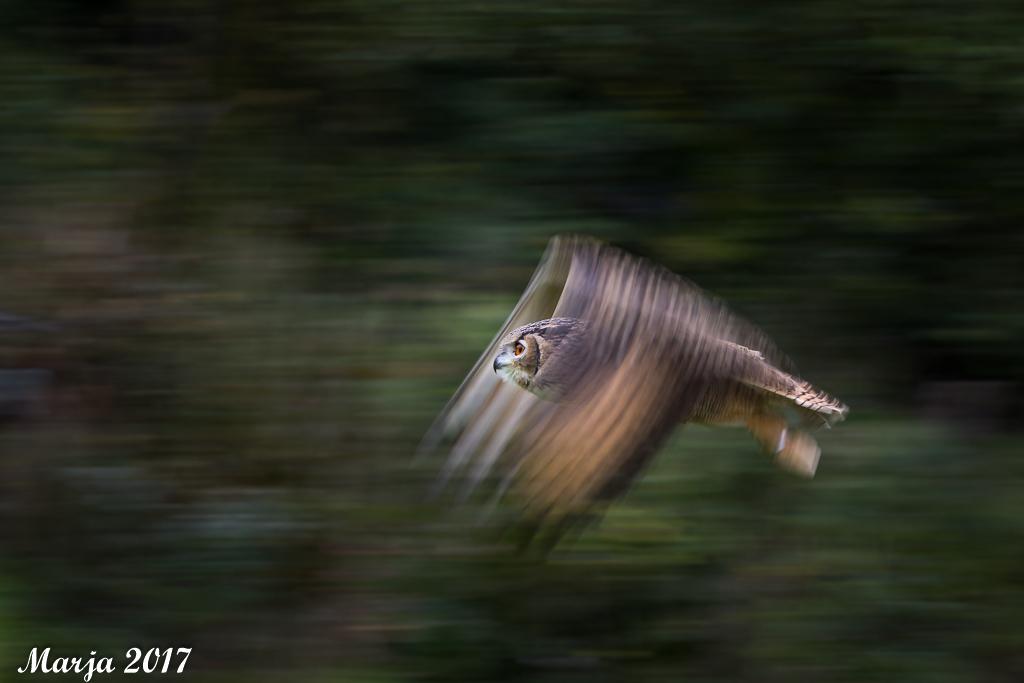 Oehoe op snelheid - Voor het eerst eens het zgn pannen in vlucht geprobeerd. Damm das lastig, maar als het dan een keer lukt is het effect wel gaaf! Deze opname gemaakt  - foto door Marja8032 op 09-10-2017 - deze foto bevat: uil