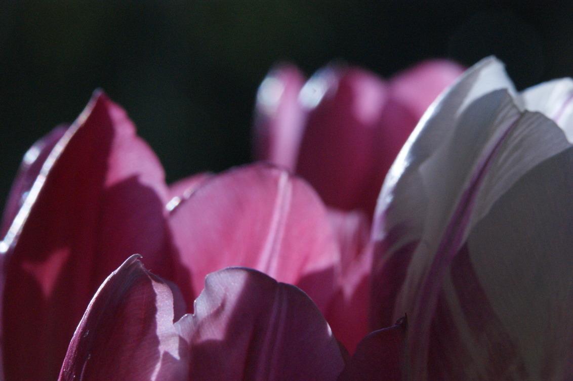 lente - tulpen - foto door 75rem op 17-04-2020 - deze foto bevat: paars, macro, bloem, tulp
