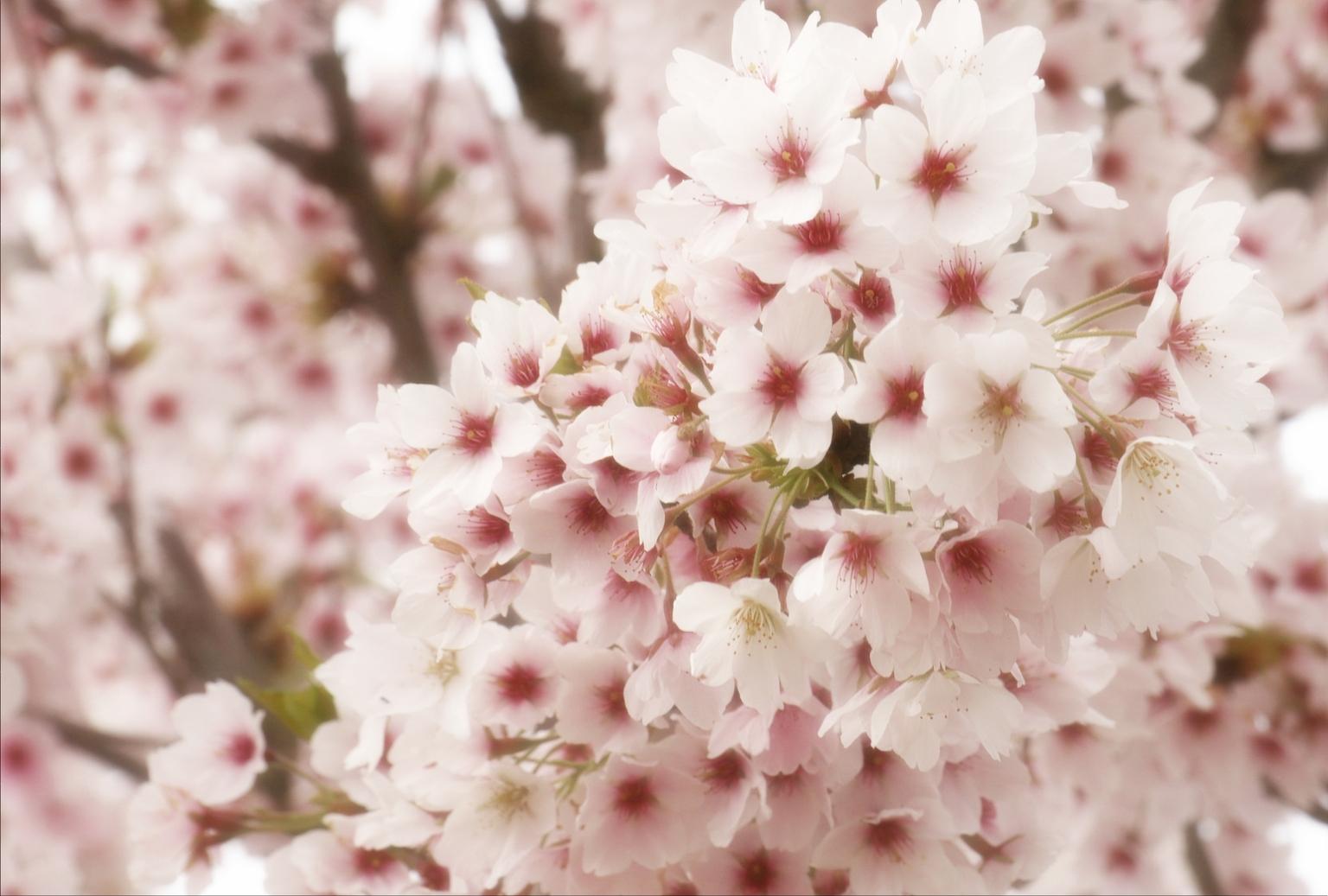 bloesem - - - foto door onne1954 op 12-04-2021 - deze foto bevat: bloesem, voorjaar, lente, rose, boom, bloem, fabriek, bloemblaadje, roze, takje, terrestrische plant, bloeiende plant, onderstruik, bloesem, bodembedekker