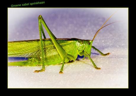 groene sabel sprinkhaan