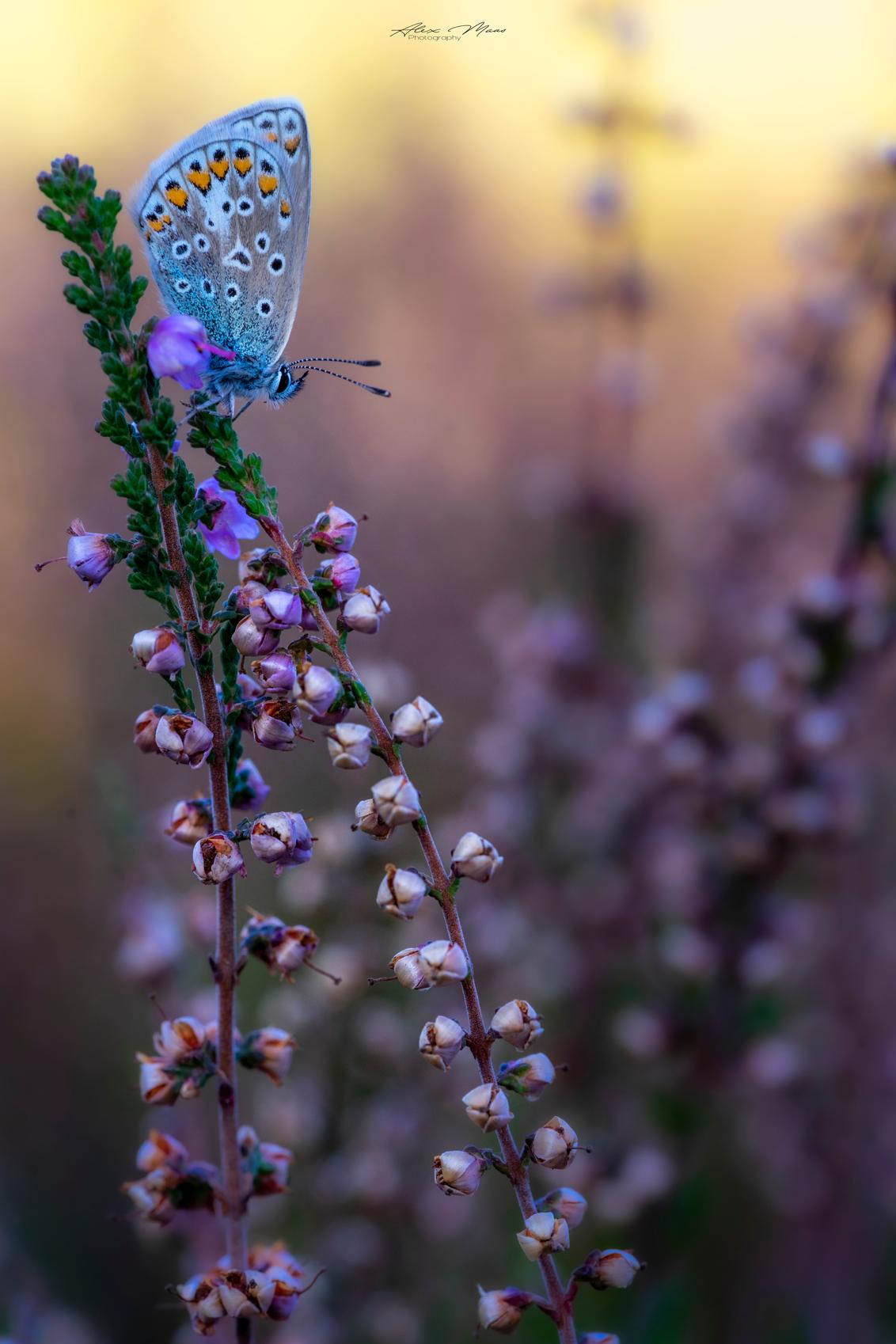 Icarus - - - foto door Alex-Maas1 op 23-09-2020 - deze foto bevat: roze, groen, paars, macro, blauw, zon, bloem, natuur, vlinder, bruin, blauwtje, geel, licht, oranje, zwart, tegenlicht, zomer, insect, dauw, dof, bokeh