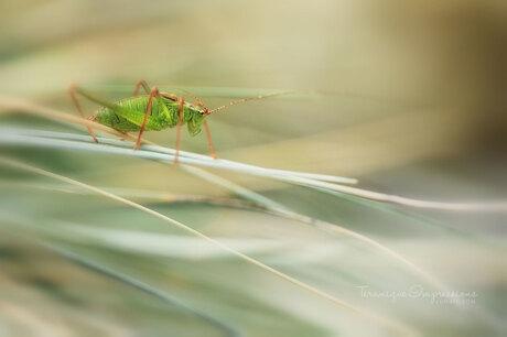 Grasshoppers Go ....