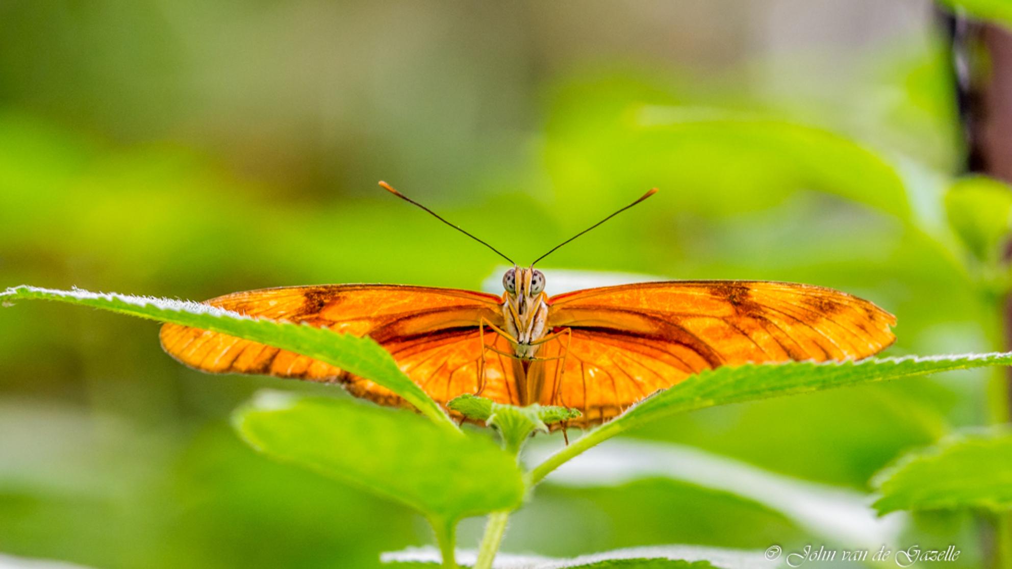 Dryas iulia oranje passiebloemvlinder - Met zijn opvallende kleur en lange voorvleugels is de Dryas iulia een markante verschijning. Deze vlinder wordt in Nederland ook wel de oranje passie - foto door JvandeGazelle op 10-01-2018 - deze foto bevat: groen, macro, bloem, natuur, vlinder, licht, insect, vlindertuin, dof, bokeh