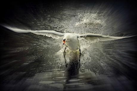 Swan spirit