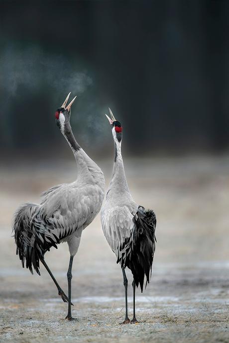 Kraanvogels in de vroege ochtend.