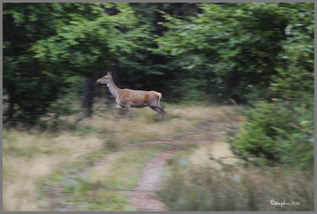 Onraad - Zaterdagmorgen na een uur na zonsopkomst zag ik deze hinde stiekem en langzaam de begroeiing in gaan, jammer voor haar maar ik had haar toch gezien,  - foto door wildspotter op 18-10-2010 - deze foto bevat: hert, vlucht, wildspotter, hinde;edelhert, onraad