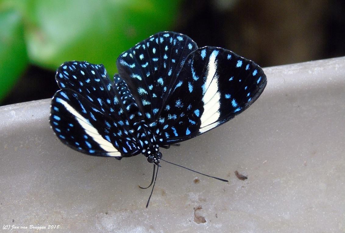 The Starry Night.. - De Hamadryas laodamia saurites (Vrouw) is een vlinder die je heel weinig tegenkomt in vlindertuinen en zelden met gespreide vleugels. De Hamadryas la - foto door Redfox16 op 02-03-2018 - deze foto bevat: vlinder, dieren, vlindertuin, vlindersadvliet, www.jvbfotografie.nl, hamadryas laodamia