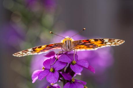 Distelvlinder nectar zoekend