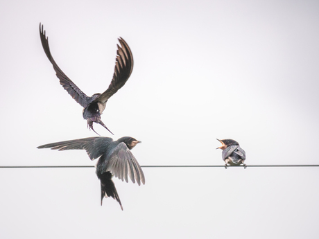 Swallows in actions