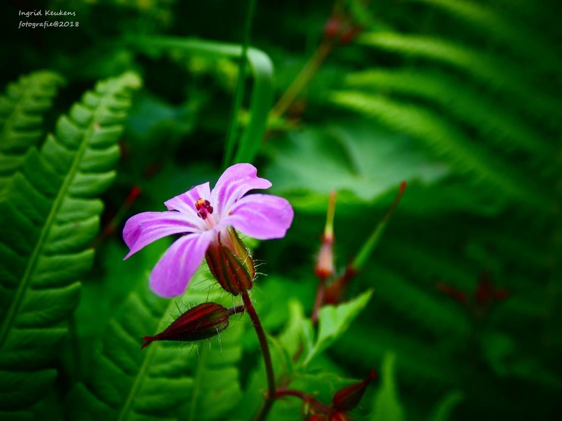 P1040084 - dit is een piepklein bloemetje, je zou er zo voorbij lopen. - foto door IngridKeukens op 31-05-2018 - deze foto bevat: zon, bloem, natuur, bos, voorjaar
