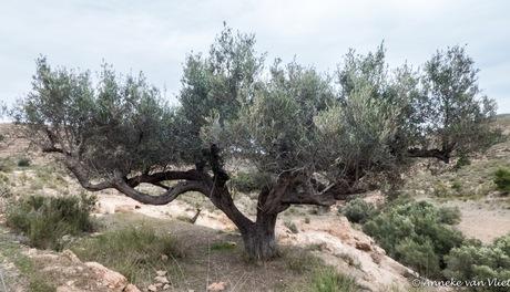 Olijfboom (Olea europaea)