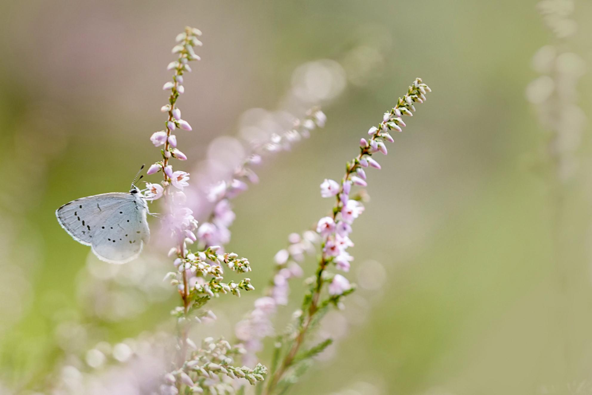 boomblauwtje - een bezoekje gebracht aan de heemtuin in Rucphen, zeer de moeite waard als je daar een beetje in de buurt woont, is een prachtige tuin! - foto door MvanDijk op 31-07-2017 - deze foto bevat: roze, groen, paars, macro, blauw, bloem, natuur, vlinder, blauwtje, geel, licht, boomblauwtje, zomer, dof, heemtuin, bokeh, Zoom.nl