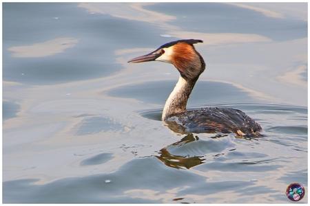 Gefocust ... - - - foto door willemdanker op 26-01-2019 - deze foto bevat: vogel, fuut, wolderwijd, zeewolde, gefocust